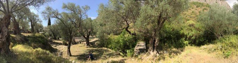 Оливковая роща под Старым Баром